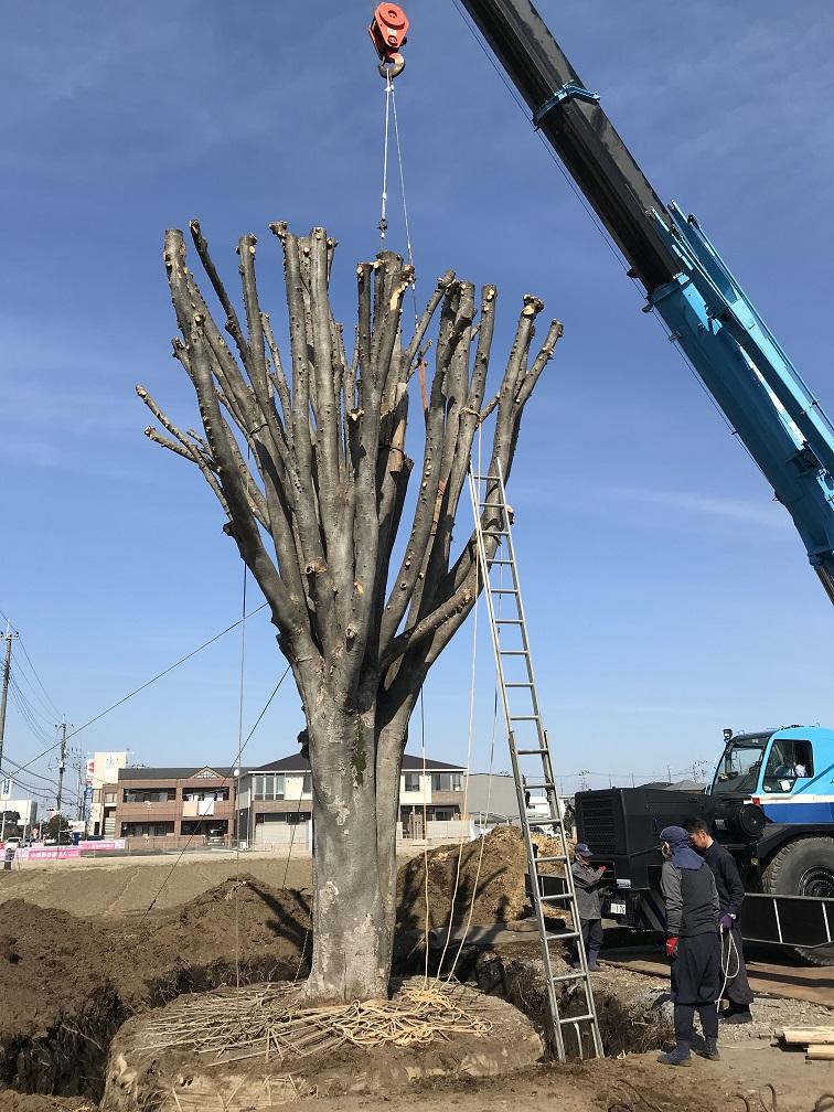 2018.3 本社敷地内 樹齢およそ百年の欅 移設プロジェクト Vol.1